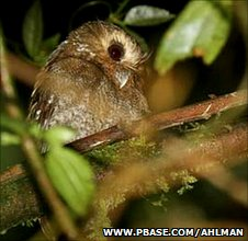 Strange whiskered owl spotted in northern Peru (Image:Roger Ahlman/www.pbase.com)