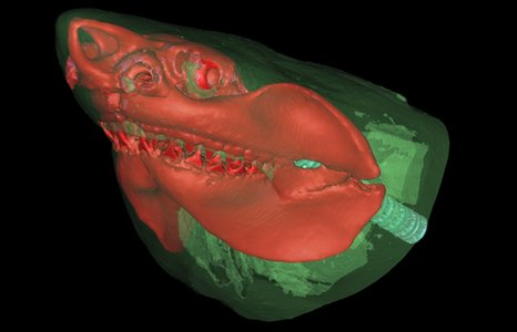 A computerised tomography (CT) scan of a great white shark's head