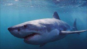 Great white shark (Image: Doug Perrine/ naturepl.com)