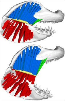 Digital image of great white shark's jaw (Image: Journal of Biomechanics)