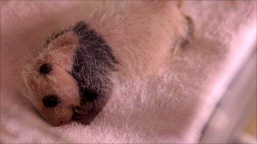 A panda cub in an incubator (c) ABG films