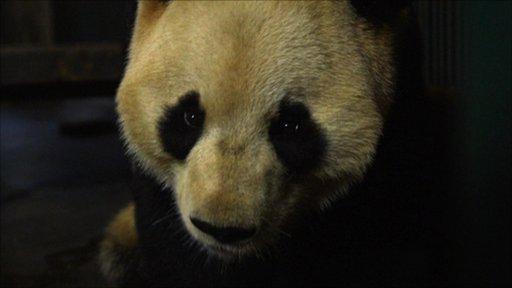 Panda (c) ABG films