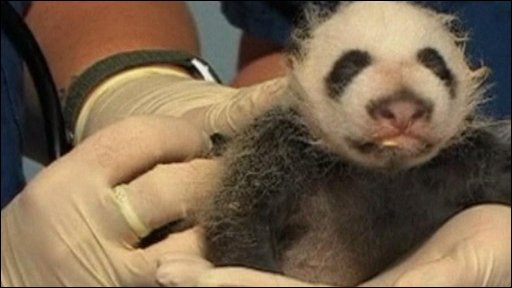 Atlanta Zoo's new panda