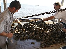 Sorting oysters on a fishing boat