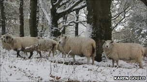 Sheep in the snow in Wimborne
