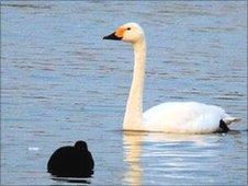 Winterling, an elderly swan at WWT Slimbridge