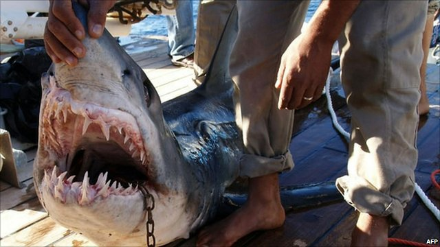 Egyptian officials captured and killed two sharks last week