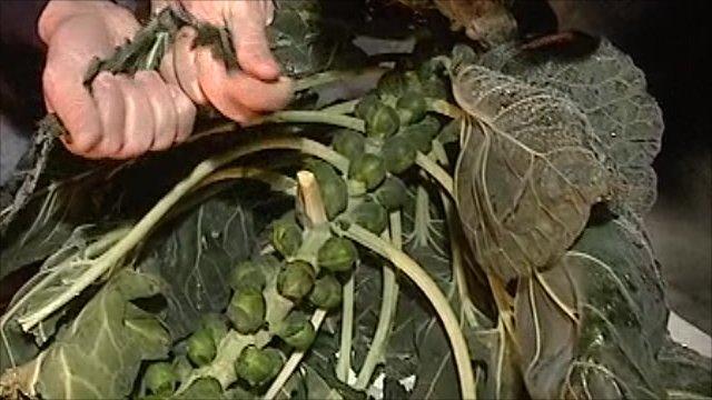 Brussels sprouts frozen in a field
