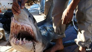 The shark identified by Egyptian officials as the one which attacked tourists off Sharm el-Sheikh (2 December 2010)