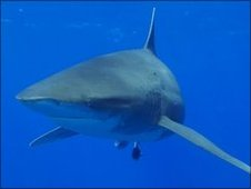 Ocean White Tip shark