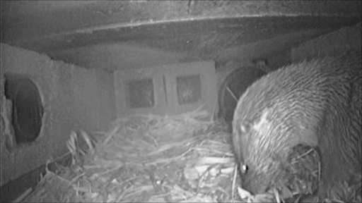 Otter in a holt in Cambridgeshire