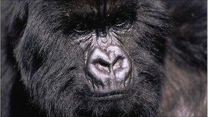 Eastern gorilla (Image: A Shah/naturepl.com)
