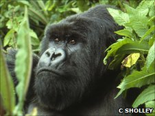 Mountain gorilla (Image:C. Sholley)