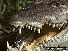 American crocodile (c) photolibrary.com