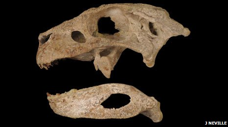 Holotype skull and lower jaw of Simosuchus clarki in side view (c) Jeanne Neville
