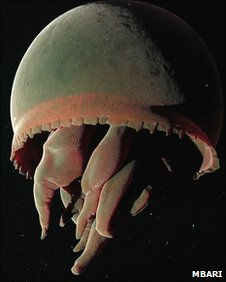 Big red jellyfish (Image: MBARI)