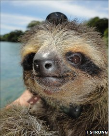 Pygmy sloth