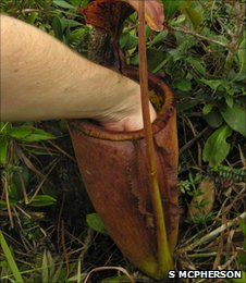 New species of pitcher plant discovered in the Philippines (Image: Stewart McPherson)