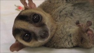 New species of lemur found in Madagascar