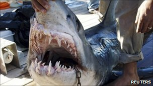 A man holds the shark which was identified by Egyptian officials as the shark which attacked tourists off Sharm el-Sheikh. Photo: 2 December 2010