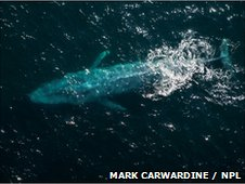 Aerial view of Blue whale (Balaenoptera musculus) at surface, Sea of Cortez, Baja California, Mexico