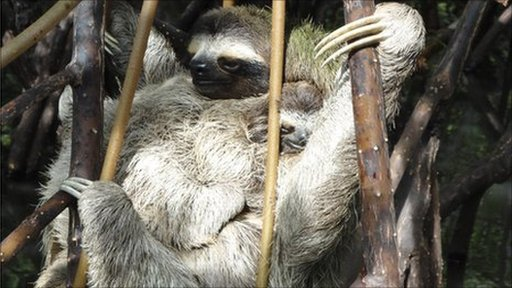 Three-toed pygmy sloth and baby (Image: Toby Strong) 