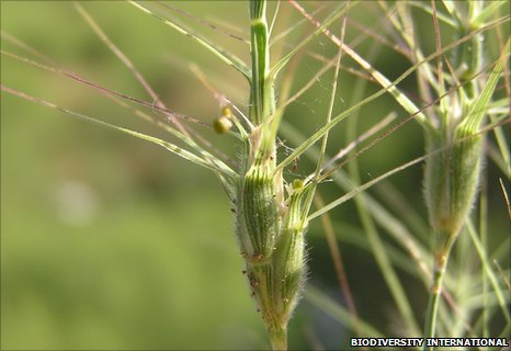 Wild wheat (Image: Biodiversity International)