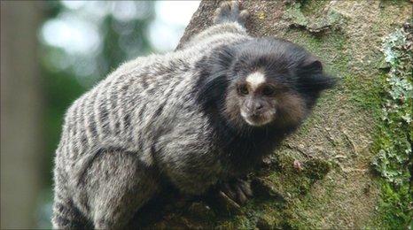 A marmoset in Belo Horizonte city park, Brazil