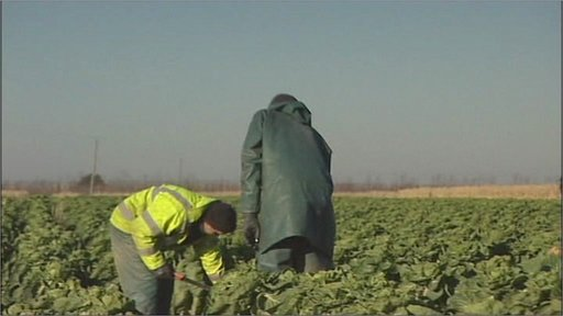 Harvesting Brussels sprouts in Kent