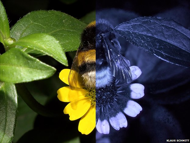 Creeping Zinnia as we see it (left) and with UV shades made visible (right). The petals clearly appear two-toned to bees, the concentric colours drawing them towards the nectar