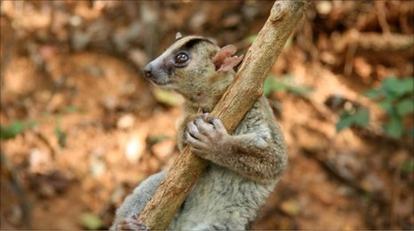New species of Phaner lemur found in Madagascar