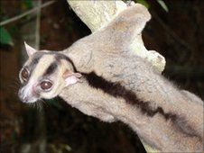 Fork-marked lemur, which could be a species new to science (Image: BBC) 
