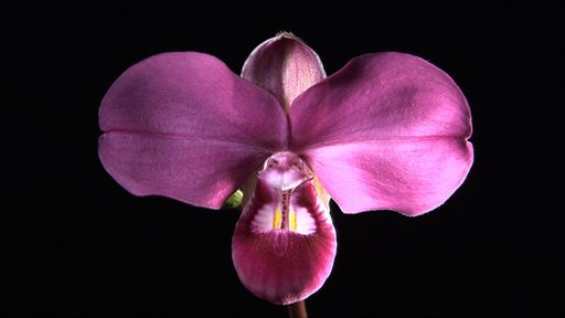 Giant purple orchid