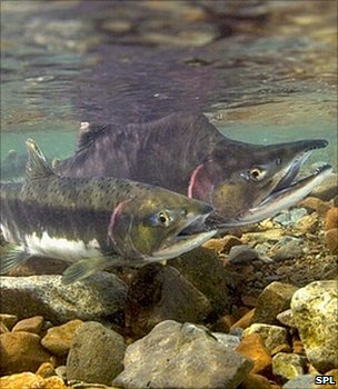 Pink salmon (Image: Science Photo Library)