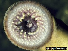 The teeth of a sea lamprey (c) 2010 photolibrary.com