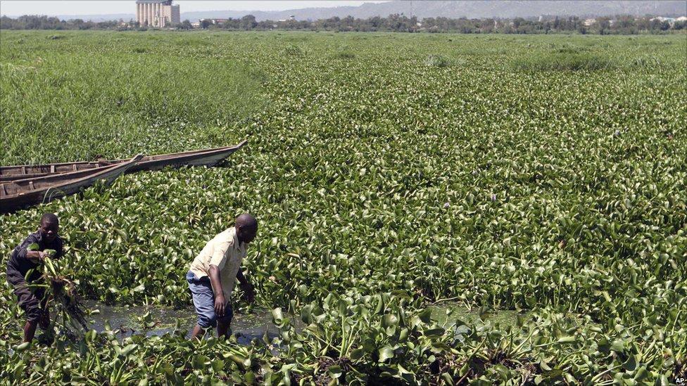 Men clear water hyacinth plants from Lake Victoria, Kisumu, Kenya
