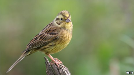 Yellowhammer. Pic: Tom Marshall, RSPB