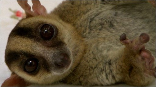 A fork-marked Lemur