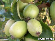 A Doddin Apple