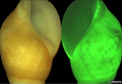 Bioluminescent snails, Hinea brasiliana (Image: Dimitri Deheyn, Scripps Institution of Oceanography)