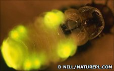 Bioluminescent insect (Image: Dietmar Nill/ Naturepl.com)