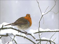 A wintry robin Pic: Paul Miguel