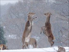 Boxing deer pic: Paul Miguel