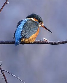 Kingfisher Pic: Paul Miguel