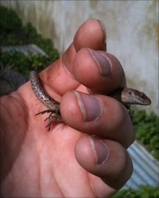 The common lizard