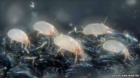Dust mites migrating (c) Gilles san Martin