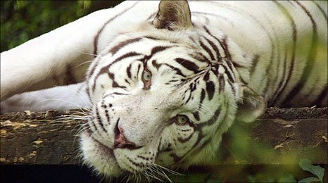 Sasha the Bengal white tiger at Colchester Zoo who died in December 2010