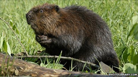 American beaver (Image: Photolibrary.com)