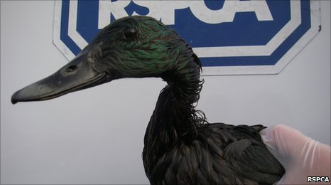 Several more ducks were rescued by RSPCA staff