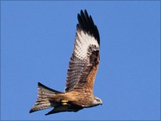 Red kite (Andy Hay rspb-images.com)